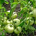 13 - tomate golden delight - www.passionpotager.canalblog.com