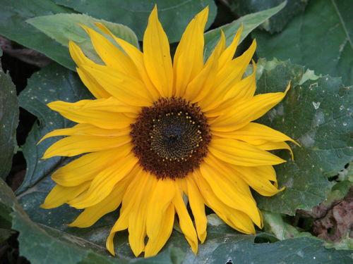 2008 09 16 Une magnifique fleurs de tournesol