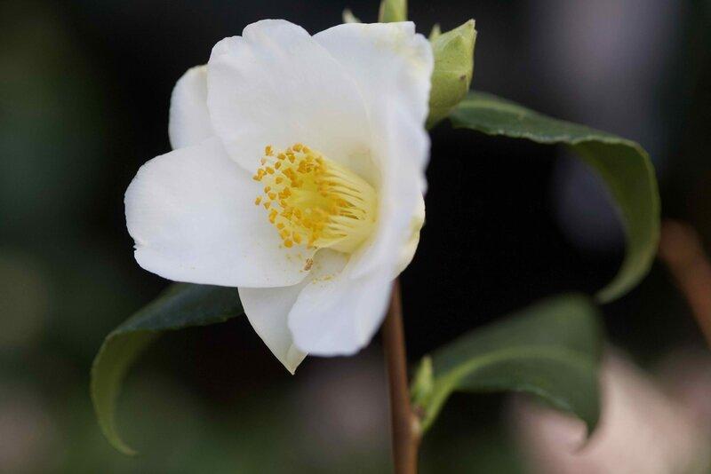 camélias blancs - 1