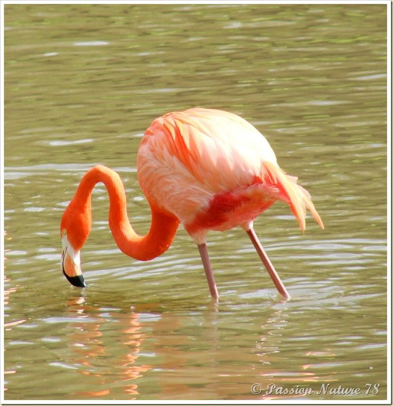 Les flamants roses (14)