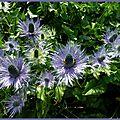 La reine des alpes (eryngium alpinum) pays des ecrins