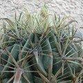 Ferocactus latispinus v. flavispinus