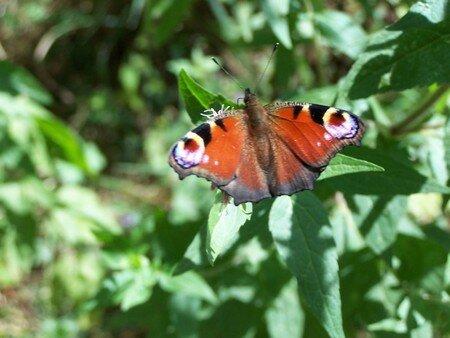 3_papillon