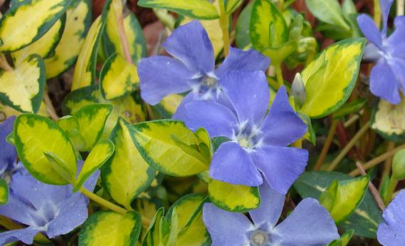 fleurs vinca illumination
