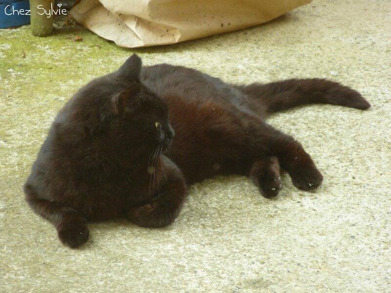 Chat noir01