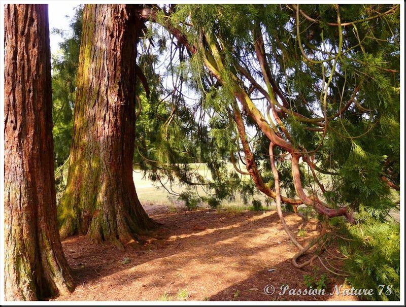Le séquoia (14)