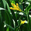 Iris aquatiques 1704166