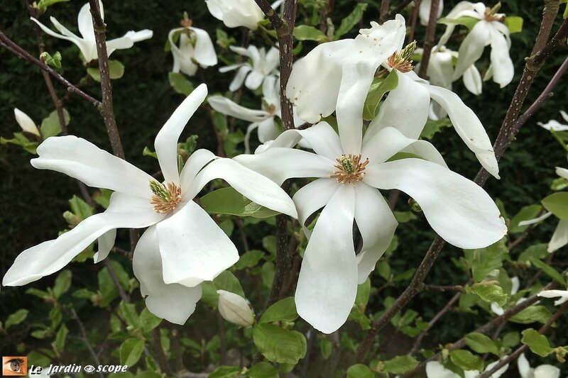 Magnolia-bis-3