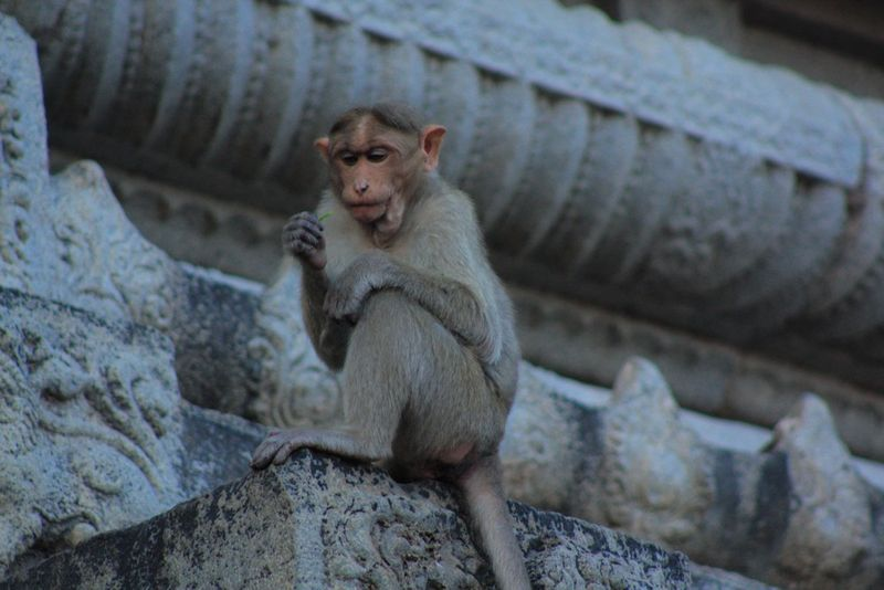 Singe du temple de Thiruvannamalai