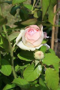 Fête Ecurie du Val Fête de la rose à Veules 208