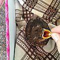 Notre moineau tombé du nid !