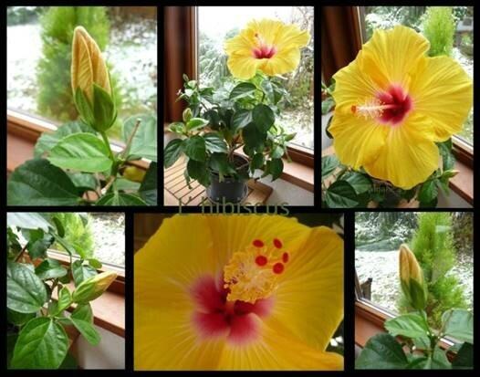bel hibiscus
