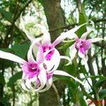 orchid_41