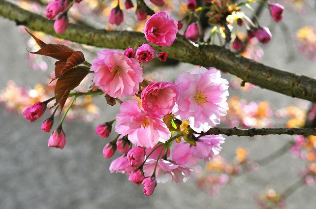 prunus0