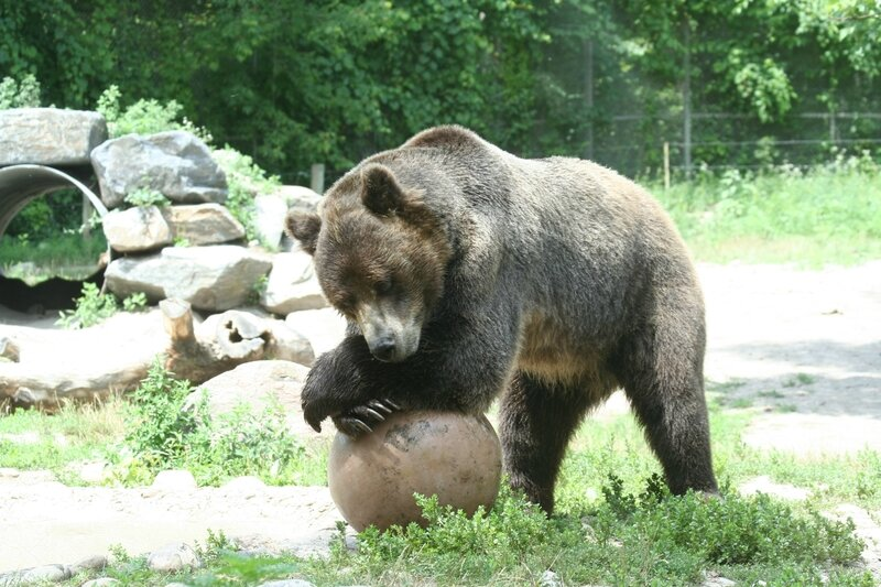Grizzly_Bear,_Lounging