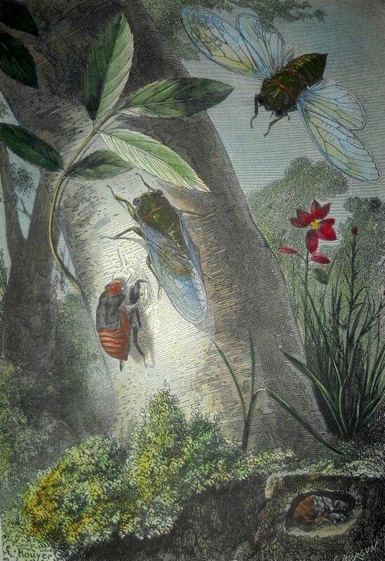 La Cigale du Frêne