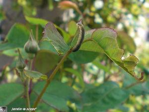 Larve de Tenthrède du rosier • Allantus (Emphytus) cinctus