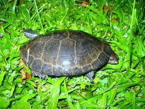 tortue_du_jardin_002