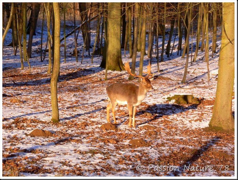Les daims dans la neige (2)