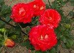 Roses_de_septembre_2