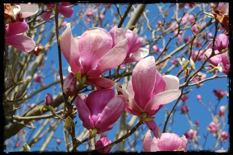 tulipiers