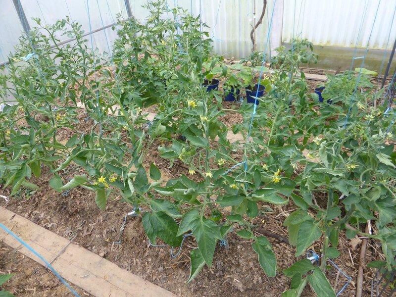 23-tomates (1)