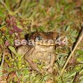 rancho timanu_litter frog_02