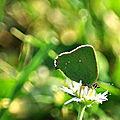 Argus vert, Thécla de la Ronce ('26 AVRIL 2011)