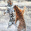tigreg1szrg39o1_1280