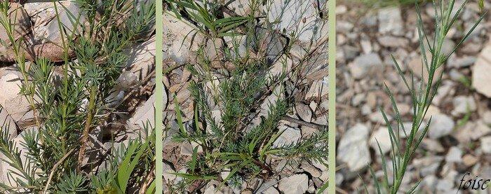 sous-ligneuse tiges diffuses feuilles alternes en alêne