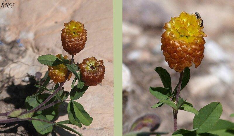 inflorescence oblongues cylindriques d'1 cm