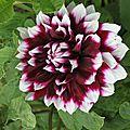 Cal frida's flower / etape 2 : le bouton de dalhia