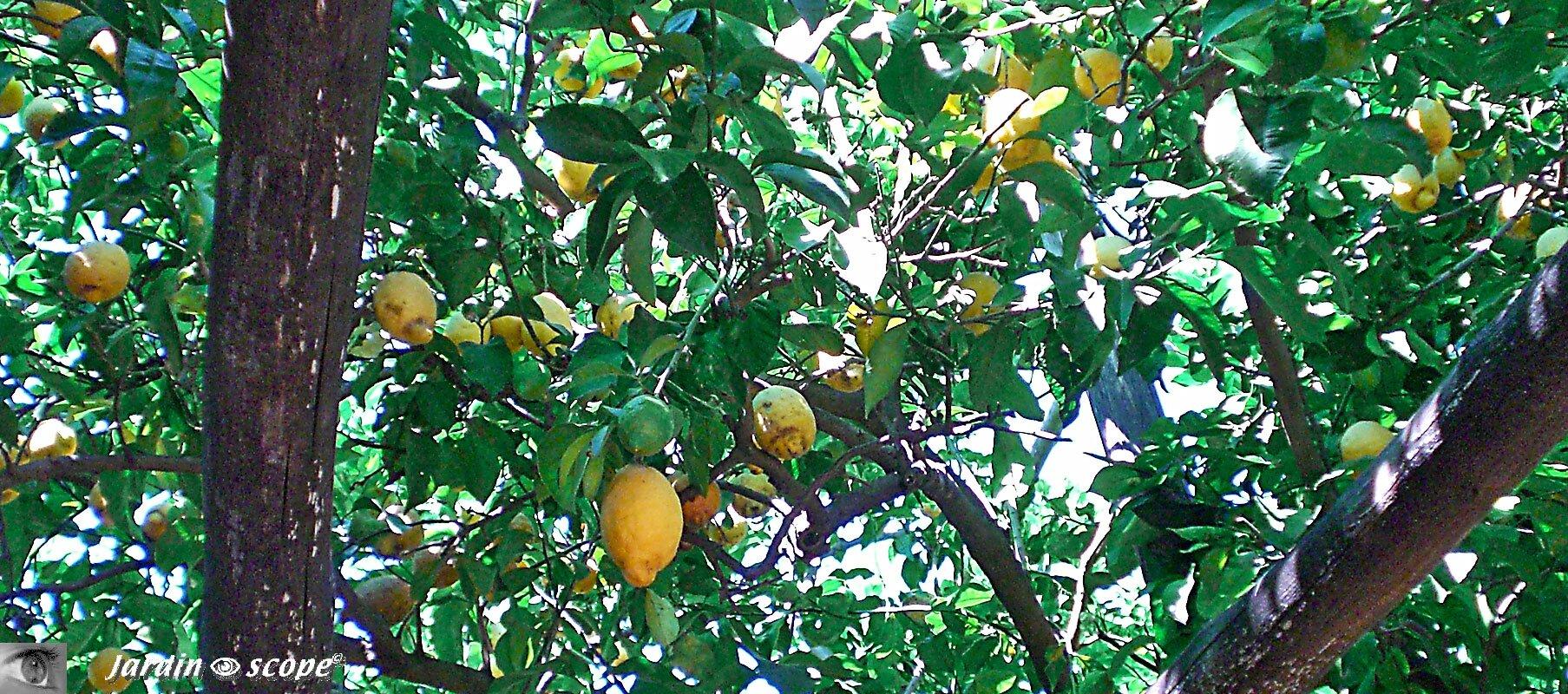 Le pense jardin des travaux faire en ao t le jardinoscope cot pratique les bons gestes - Quand tailler les citronniers ...