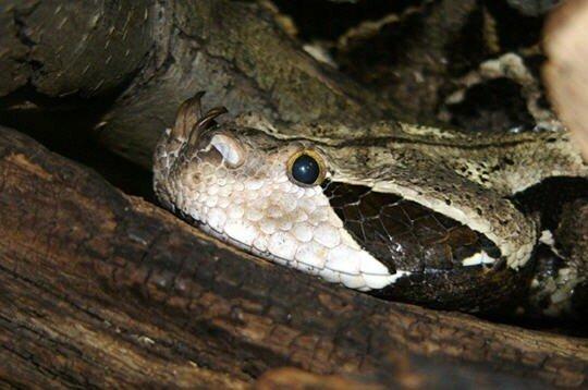 Vipere du Gabon