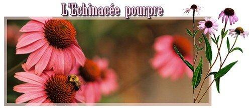 naturo echinacée