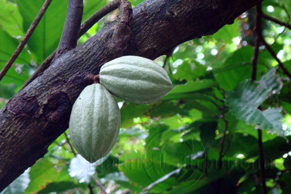 Image-Nature-Fruit exotique-Cabosse-Theobroma cacao-Martinique