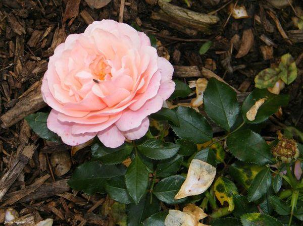 Parc Tête d Or-2012-10-14-11-06-42-des Roses
