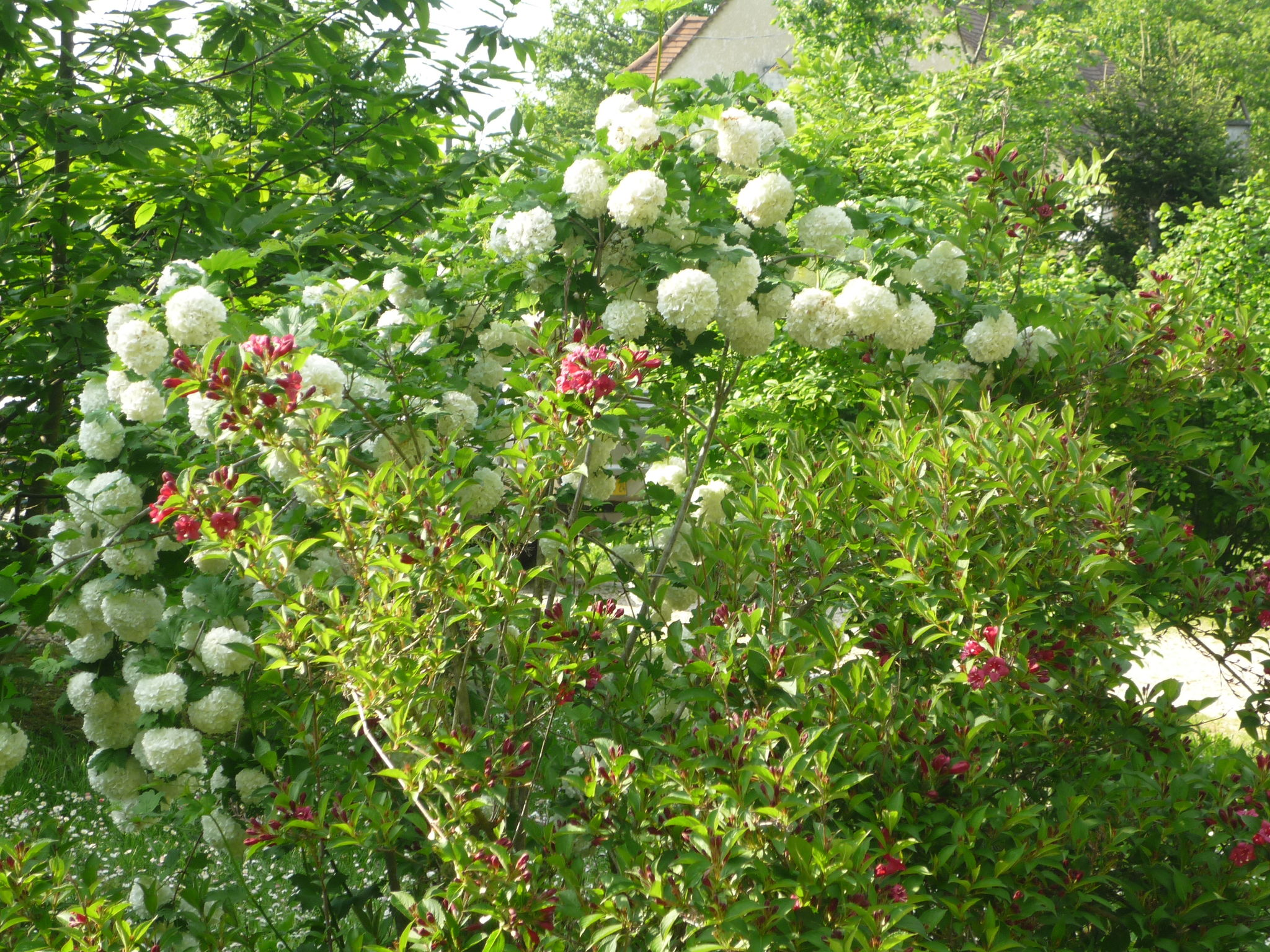 Arbuste A Boule Blanche Affordable Arbustes Fleurs Blanches With