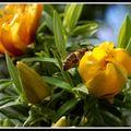Abeilles en fleurs