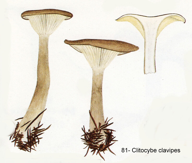 IH1 pl 11 no 81 Clitocybe clavipes