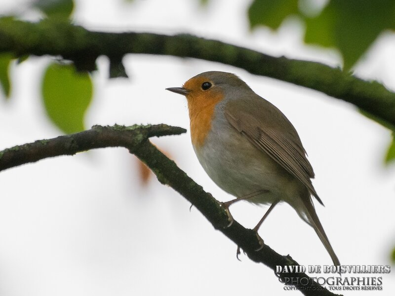 Rougegorge familier (Erithacus rubecula - European Robin)