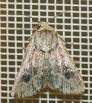 Mythimna borbonensis 02