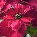 Une euphorbe star des plantes de fin d'année !