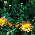 Chrysantemum 'dernier soleil'
