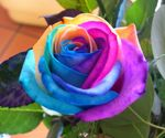 rose_2_multicolore
