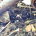 Grappe de bébés cèpes noirs sur bogue de châtaignes de l'an dern