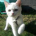 Mlle Sha ! Magnifique chaton aux yeux vairons, toute blanche, toute douce, toute ... belle !