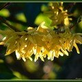 forsythia