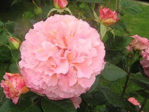 Roses_du_jardin_samedi_10