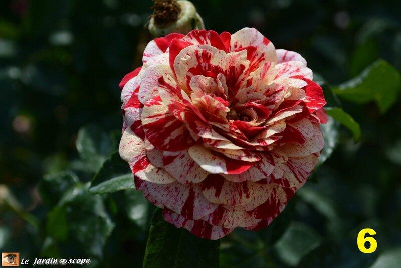 06-Concours international de roses d'Orléans 2016